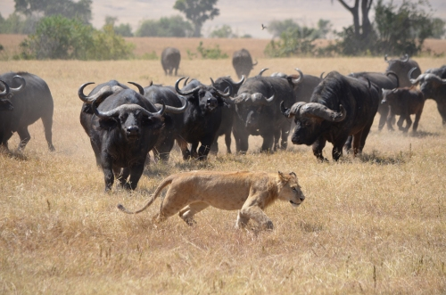 My favorite shot from the lion hunt in the Ngorongoro Caldera. The buffalo win this round.