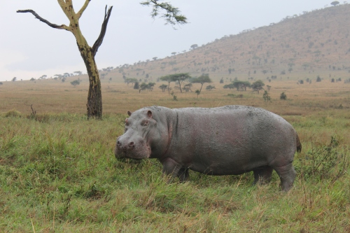 Hippo spotting in Serengeti National Park of Tanzania