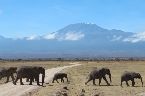 Elephant crossing in front of Mt. Kilimanjaro, Kenya