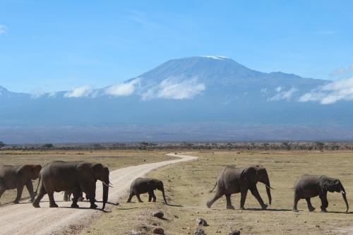 Elephant crossing in front of Mt. Kilimanjaro, Kenya