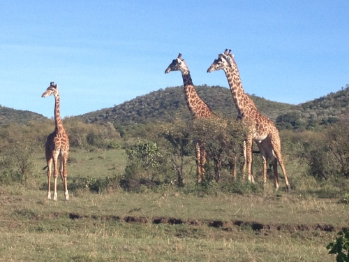 A group of giraffes is called a journey – we spotted these in the Masai Mara of Kenya