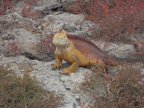 A land iguana.