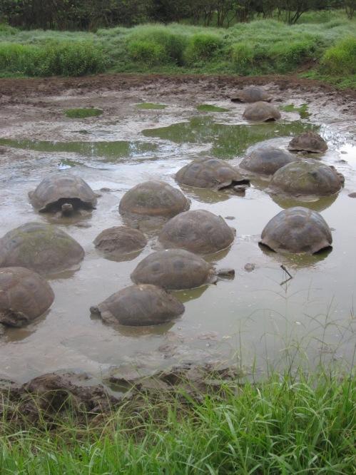 Giant tortoises.