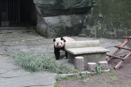 Everyone loves a good panda picture! At the Chongqing Zoo.