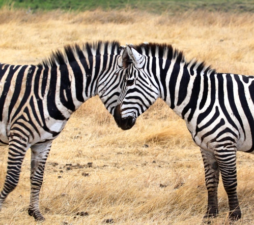 1st Place Nature Category: Zebras in Tanzania by Sydnee Alenier, Penn Spouse