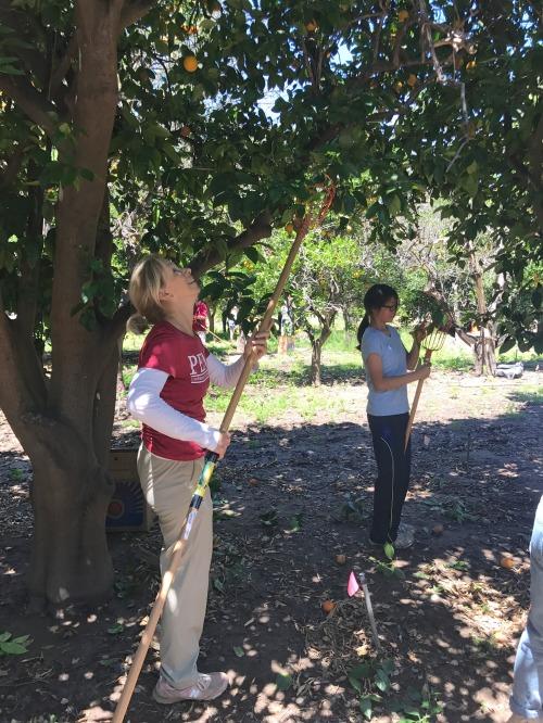 Picking fruit for Food Forwardy, photo by Kiera Reilly